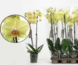 орхидея_summer