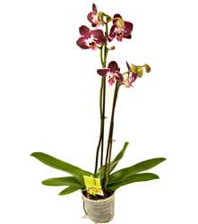 falenopsis-dip-pepl