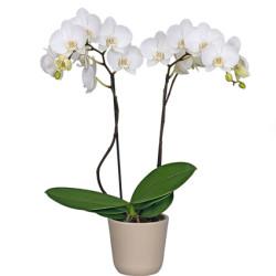 Белая орхидея, сорт Икария