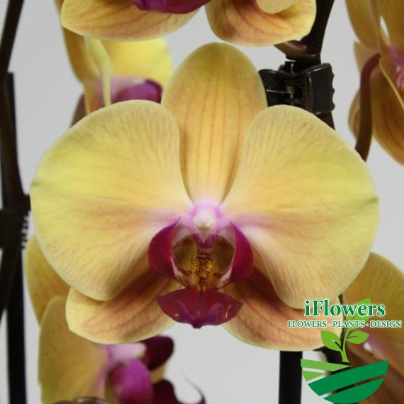 solid_gold_орхидея
