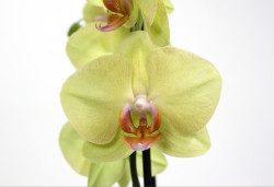 summe_орхидеяr