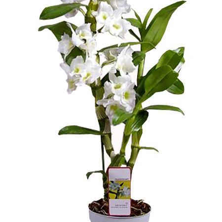 Домашний цветок дендробиум уход в домашних условиях