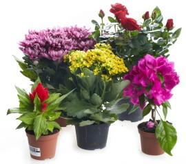 Горшоченые цветы с доставкой цветы домой купить