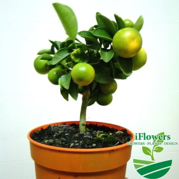 цитрус мандарин 12горшоллллк