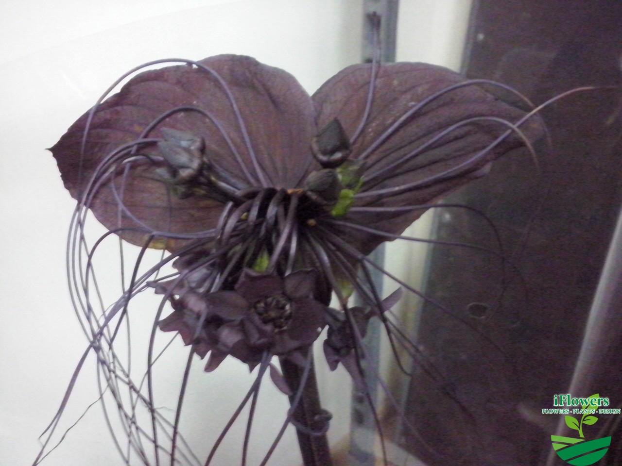 Чёрная орхидея цветок цена купить
