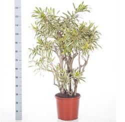 Dracaena Song of India 3