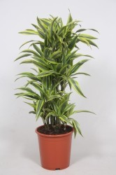 DRACAENA LEMON LIME110