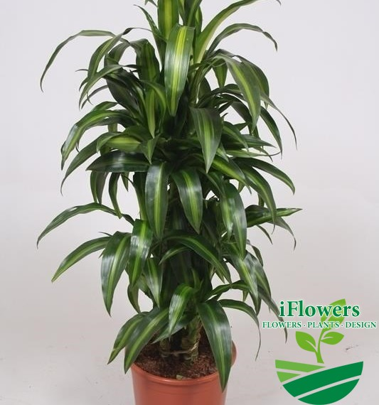 Dracaena fragrans ''Hawaiian Sunshine''