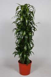 Dracaena fragrans ''Hawaiian Sunshine''200
