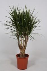 Dracaena marginata140