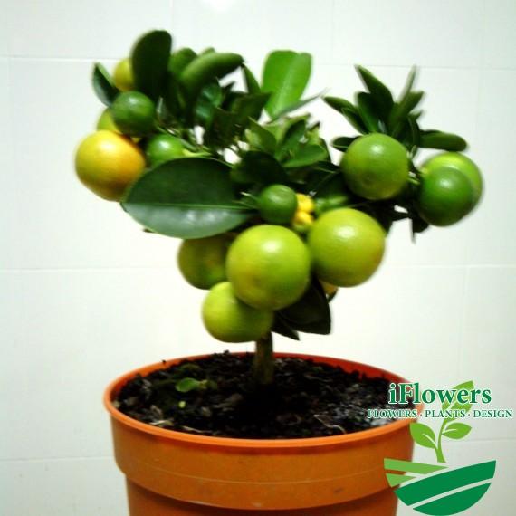 цитрус мандарин 12 горшокккк