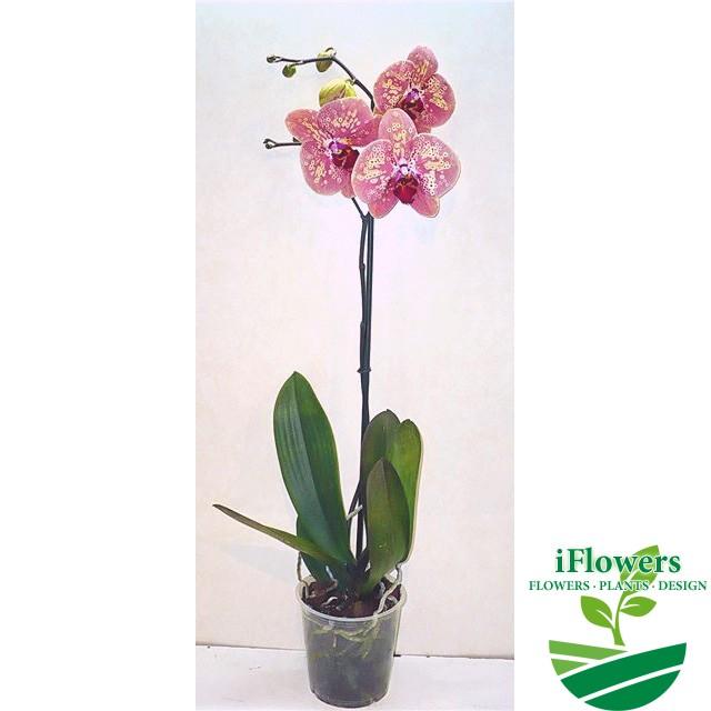Орхидея дикий персик фото