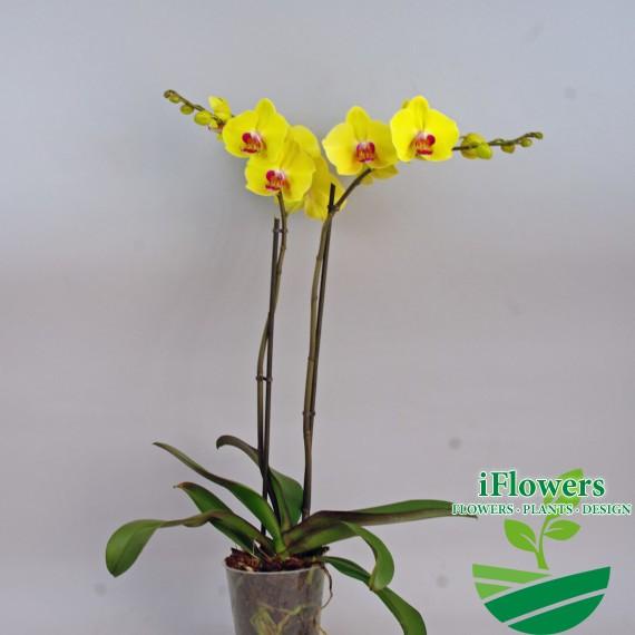 Жёлтые орхидеи фаленопсис фото
