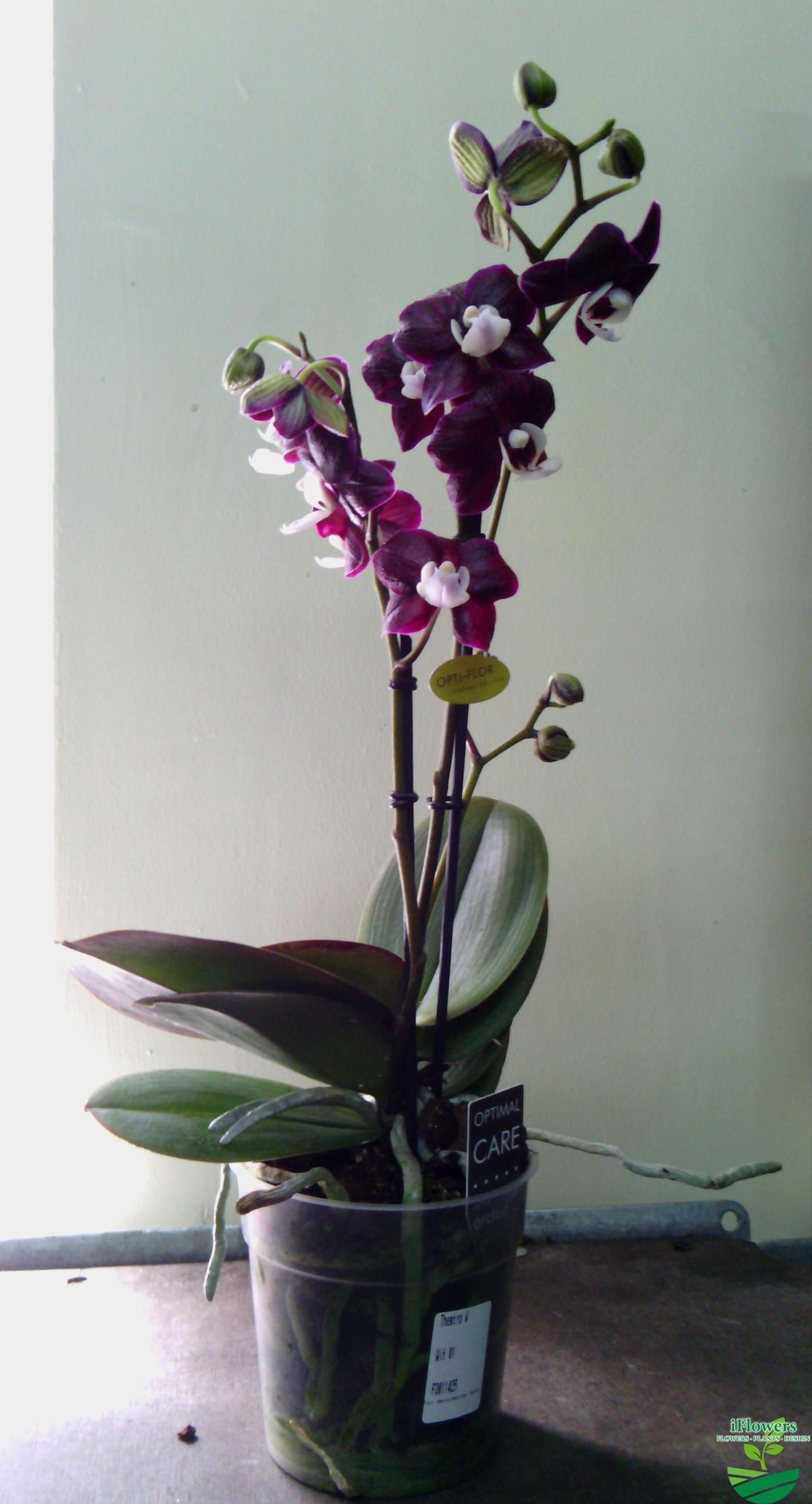 Черная орхидея цветок купить в горшке