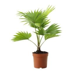 livistona-rotundifolia-rastenie-v-gorske__67466_PE181307_S4