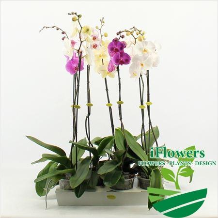 королевская орхидея 1 ствол