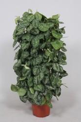 Scindapsus pictus 'Trebie'