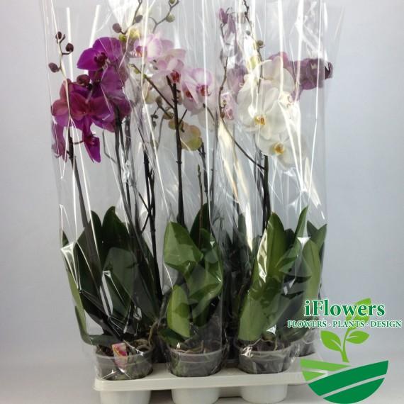 A2_Grandi-flora_Mix