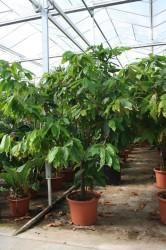 Теоброма какао (Theobroma cacao) 2