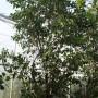 Clusea rosea