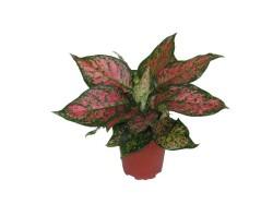 aglaonema-red-valentine1