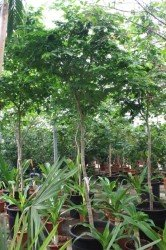 Bulnesia arborea