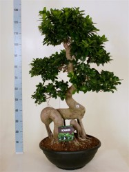 FICUS MICR. DRAGON ROOT