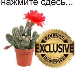 Эксклюзивные кактусы и суккуленты (под заказ)
