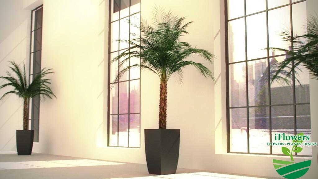 цветок финиковая пальма