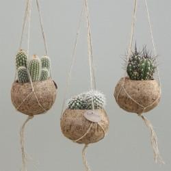 кактус в кокосовом мешочке