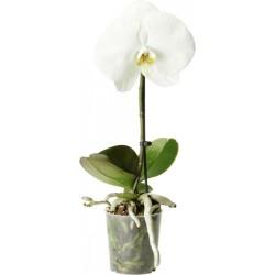 Фаленопсис синголо 30 см