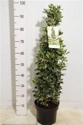 Бересклет Japonicus 'kathy' 100 см