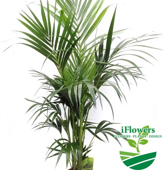 пальма Ховея 160см