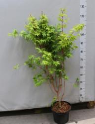 Клен Palmatum 'sangokaku' 150 см