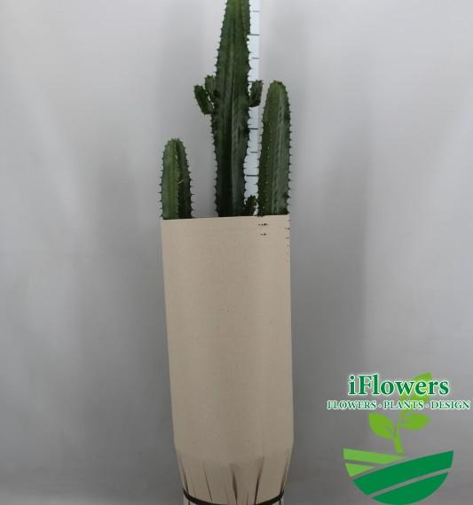 кактус еуфорбия 100 см