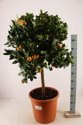 Мандарин декоративный 150 см