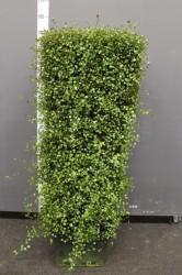 Стена из мухенбекии 150 см