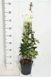 Трахелоспермум жасминовидный 90 см