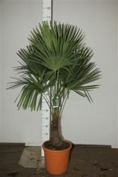 Трахикарпус 100 см