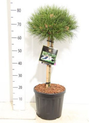 Pinus 'marie Brégeon' 70 см
