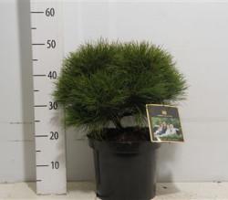 Pinus 'marie Brégeon' 35 см