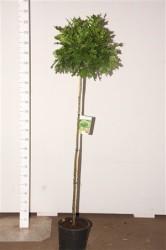 Дуб болотный 'green Dwarf' 150 см