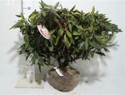 Rhododendron Ponticum 'roseum' 80 см