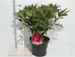 Rhododendron 'marie Forte' 50см
