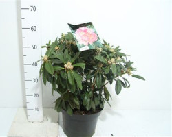 Rhododendron 'percy Wiseman' 50 см