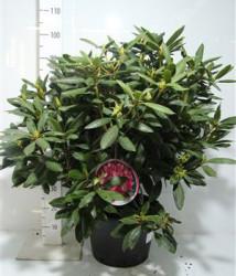 Rhododendron 'roseum Elegans' 80 см