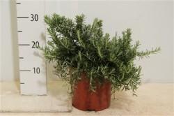 Rosmarinus Officinalis 'prostratus' 25 см