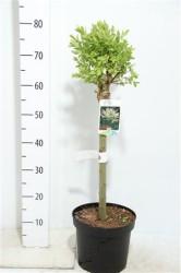 Salix Integra 'hakuro-nishiki' 80 cm