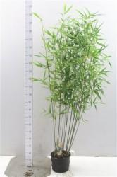 Semiarundinaria Fastuosa 'viridis' 175 см