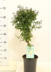 Solanum Jasminoides 90 см